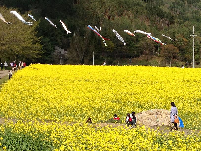 今年(2013年)のいいやま菜の花まつりは、スカイバスが走ります。