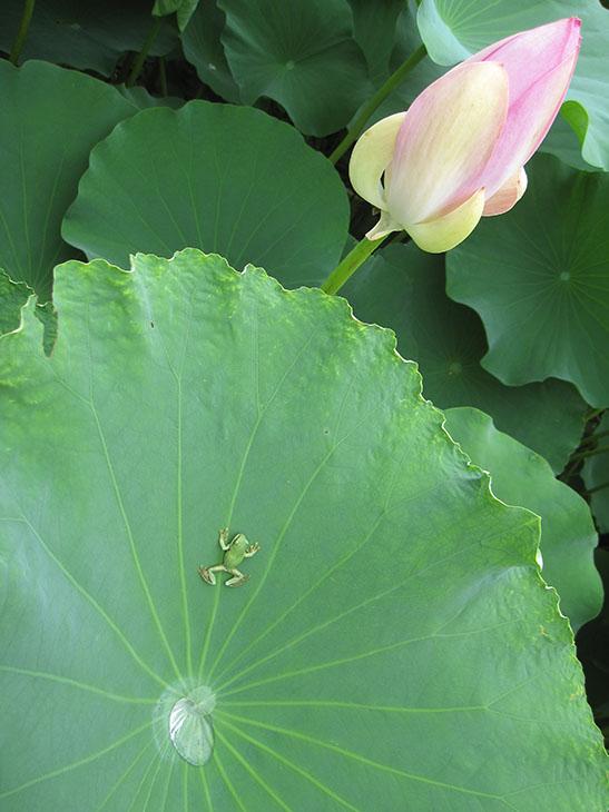 7月は、稲泉寺へ。 大賀蓮と蛙