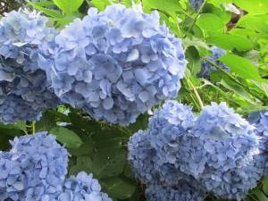 紫陽花 あじさい寺 高源院
