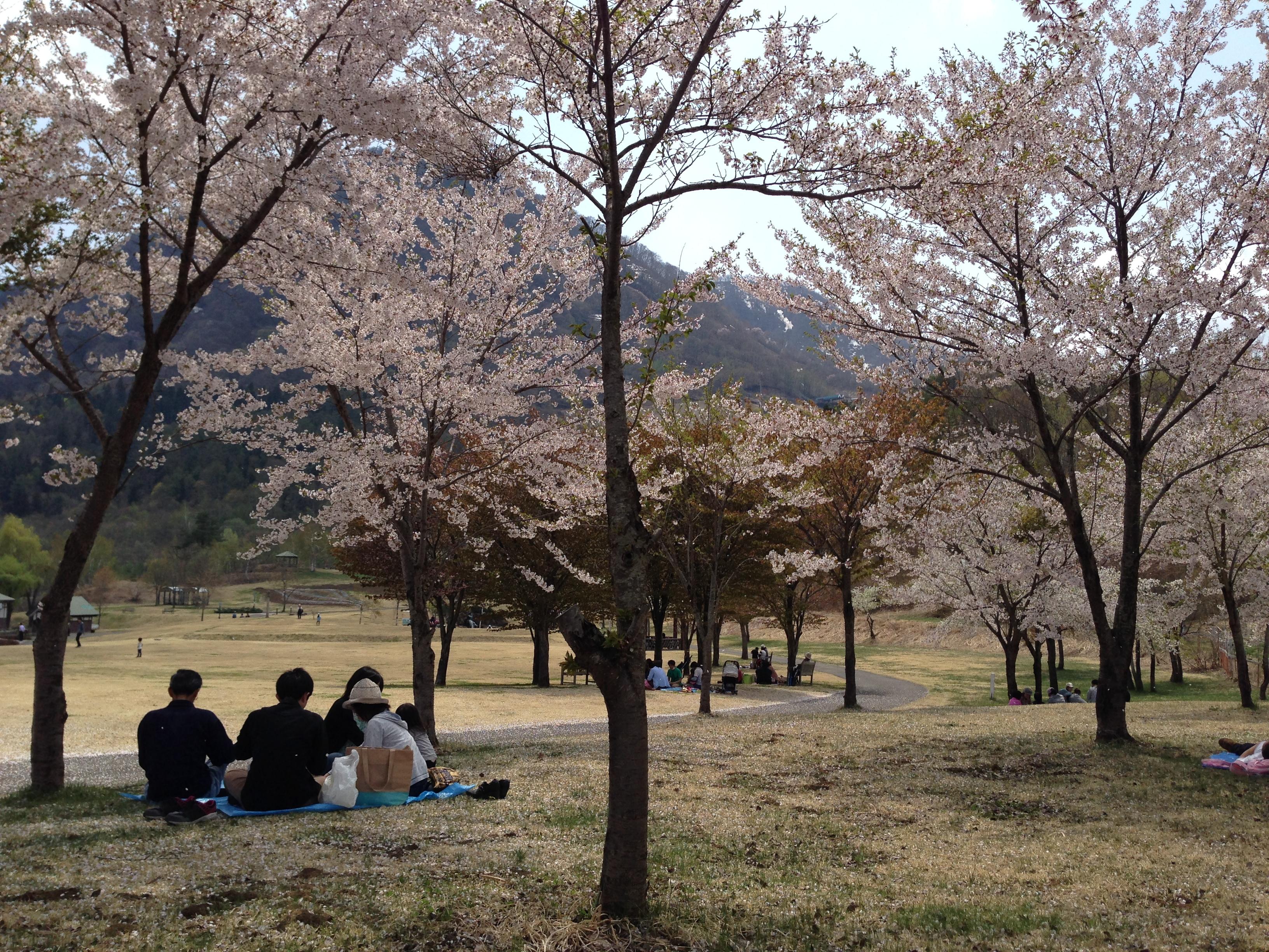 桜満開、ゴールデンウィークの「やまびこの丘公園」